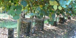 Orhangazili çeltik üreticisi alternatif ürüne yöneldi