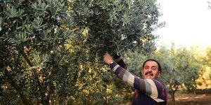 Orhangazi'de 5 bin ton zeytin alımı hedefleniyor