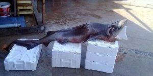 Mudanya'da balıkçıların ağına köpek balığı takıldı