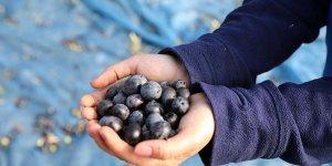 'Topraktan halka' zeytin hasadı başladı
