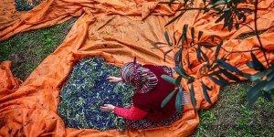 Marmarabirlik İznik'te rekor zeytin alımı