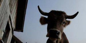 Turisti öldüren ineğin sahibine 490 bin euro ceza