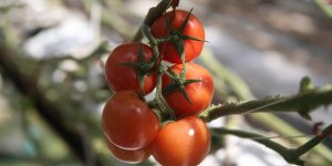 5 yada 163 milyon dolarlık domates ihracatı