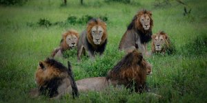 Kaçak avcıyı fil öldürdü, aslanlar yedi