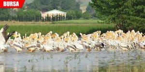 Baraja gelen yüzlerce pelikan ilgi odağı oldu