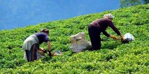 Çaykur üreticiye 500 milyon TL ödeyecek