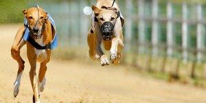 'Uçan'köpekler