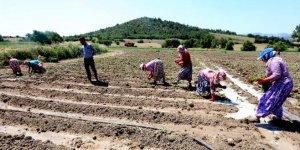 Yenişehir'de çiftçi, bibere yöneldi