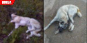 Kurtlardan kurtulmak isterken köpekleri öldürdü