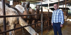 15 bin liraya kurbanlık deve