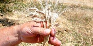 Çiftçiyi buğdaya dönüyor