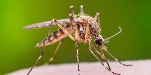 KKTC'de Batı Nil Virüsü alarmı