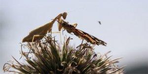 'Peygamber devesi' kelebeği avlarken görüntülendi