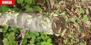 Kayın tırtılları ile biyolojik mücadele