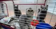 Kaçak getirilen İskoç kedileri ücretsiz sahiplendirilecek
