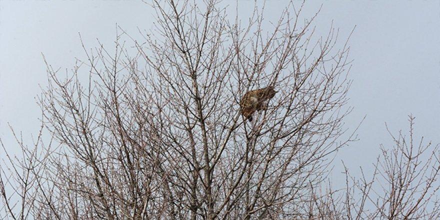 Çoban köpeklerinden korkarak ağaca tırmanan vaşak kurtarıldı