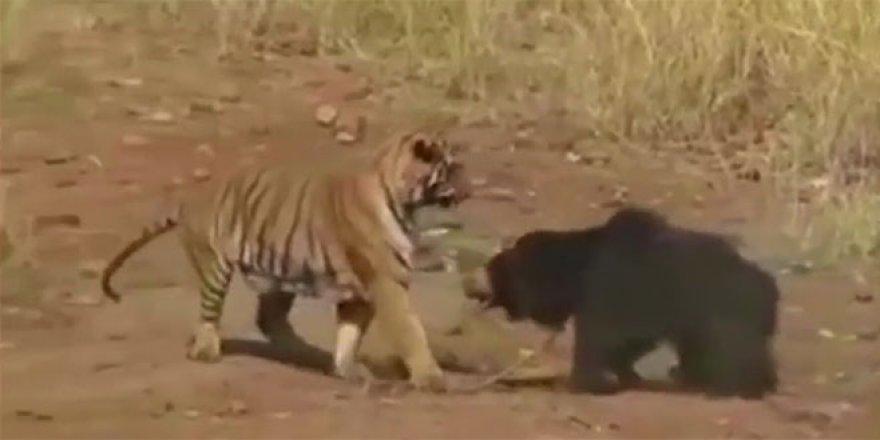 Kaplan ve ayının ölümcül dövüşü kamerada