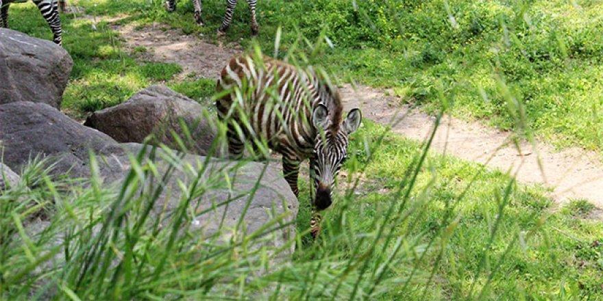 Hayvanat bahçesinin bebek üyeleri neşe saçıyor