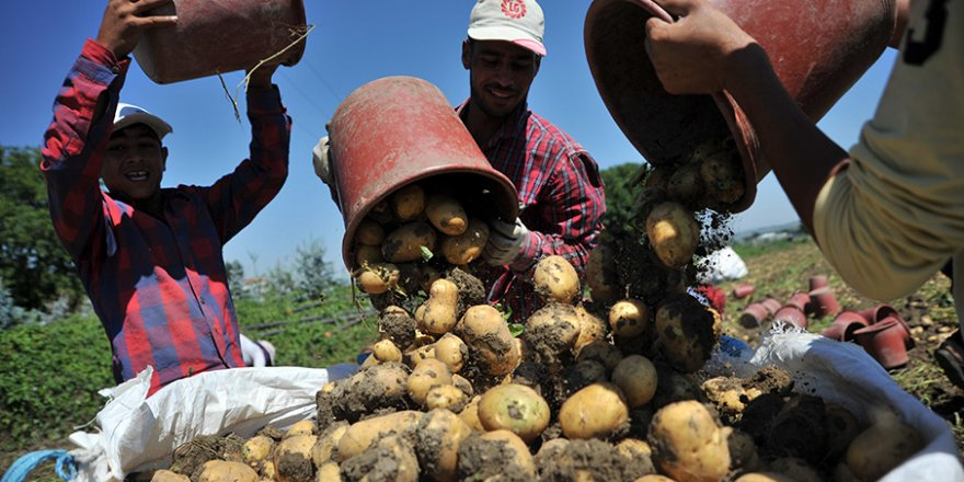 Bursa'da hasat başladı, patates tarlada 2 lira