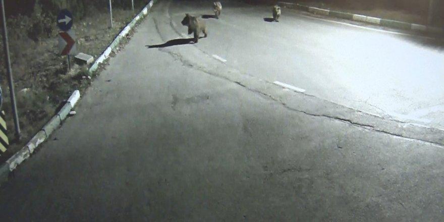 Uludağ'da aç kalan sakat ayı ve yavruları şehre indi
