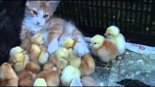 Civcivlere annelik yapan kedi!