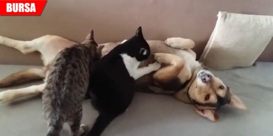 Öksüz kalan kedilere annelik yapıyor