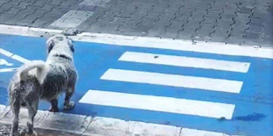 Yayalar kırmızı ışıkta geçti, sokak köpeği yeşil ışığı bekledi