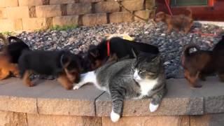 Köpeklerin acımasız saldırısı sonucu kedi çaresiz kaldı!
