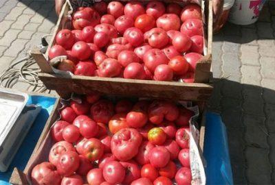 Osmanlı domatesine büyük ilgi