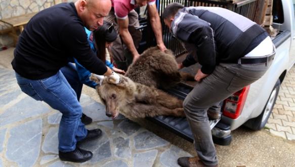 Yaralı ayı Bursa`da tedavi edildi