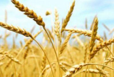 Buğdayda çifte korku
