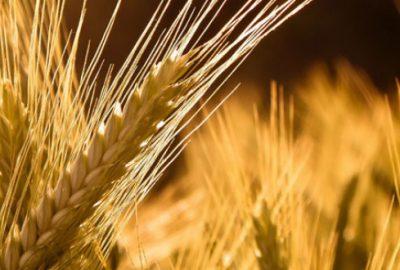 Telaşlanmayın buğdayda sıkıntı yok
