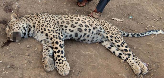 Leopar öldüren kuzenler beraat etti