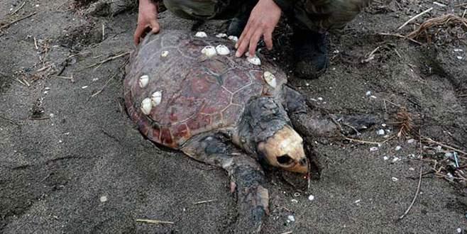 Nesli tehlike altında! Ölüsü Karacabey sahilinde bulundu