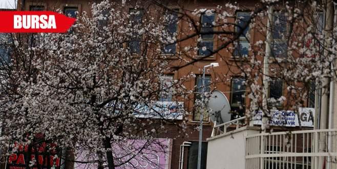 Bursa'da ağaçlar yalancı bahara aldandı