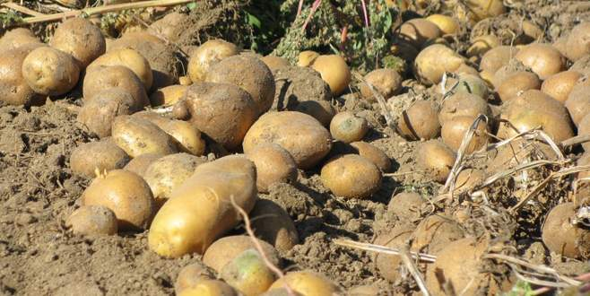 Patates 4 liraya dayandı