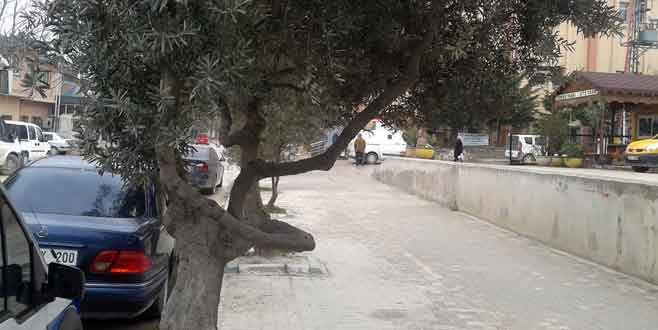 Zeytin ağaçları taşınacak