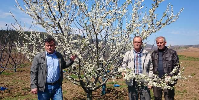 Bursa'da çiçek açan meyve ağaçlarını don vurdu