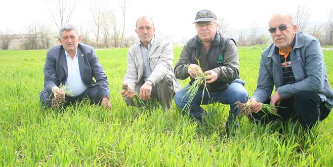 Buğdayda hastalık korkusu