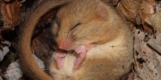 Beyin 'cinsiyeti' değiştirilen fareden inanılmaz davranış