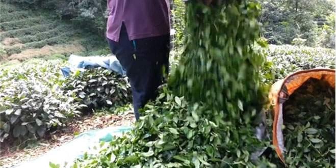 Çay üreticisine müjdeli haber