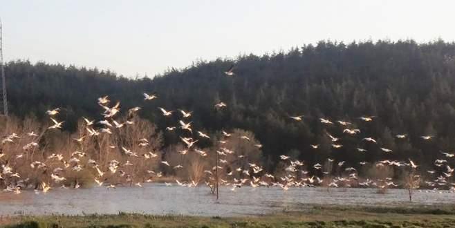 Orhaneli'den pelikan sürüsü geçti