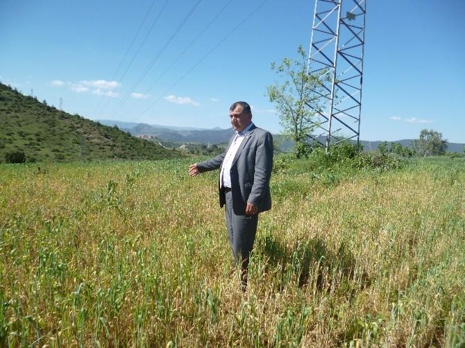 Osmaneli Ziraat Odası Başkanı Ünver Çiftcileri Sarı Pas Hastalığına Karşı Uyardı