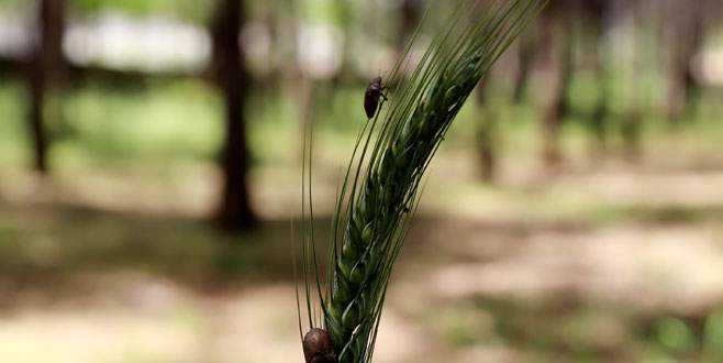 Faydalı böceklerin 'buğday nöbeti'