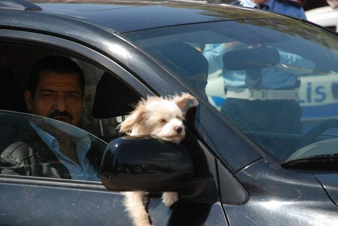 Süs Köpeğinin Otomobil Keyfi