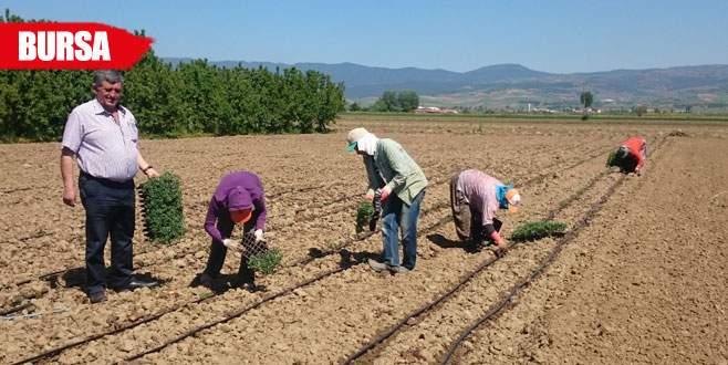 Yenişehir ovasında biber ve domates ekimi başladı
