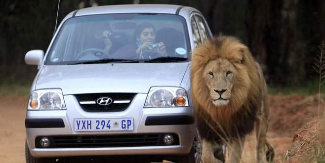 Parkta aslan dehşeti