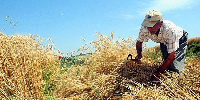 Buğday Çukurova'da üreticinin yüzünü güldürdü