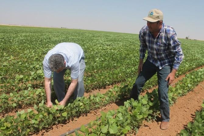 Mardin Ovasında Soya Fasulye Mısır'a Alternatif Ürün Yolunda
