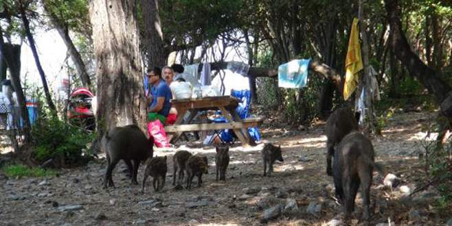 Piknikçilerin davetsiz misafirleri